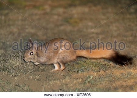springhare, springhaas, jumping hare (Pedetes capensis), looks for food at night, South Africa, Eastern Cape, Mountain Zebra National Park - Stock Photo