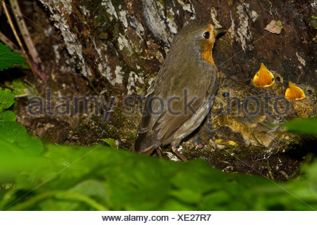European robin (Erithacus rubecula), adult at its nest on the ground with chicks, Germany, Bavaria, Nasenbach - Stock Photo