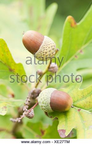 Quercus Macranthera, Caucasian Oak, Brown acorns growing on a tree. - Stock Photo