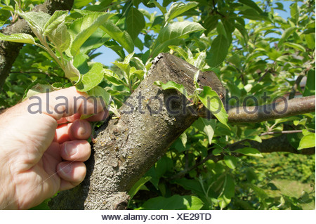 Appletree-pruning in summer - Stock Photo