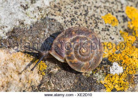 Lapidary snail (Helicigona lapicida, Chilotrema lapicida, Latomus lapicida), creeps on a rock, Germany, Bavaria, Niederbayern, Lower Bavaria - Stock Photo