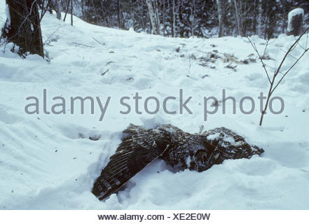 Great Horned Owl (Bubo virginianus) Adult killed by Golden Eagle (Aquila chrysaetos) Winter, Ontario,  Canada. - Stock Photo