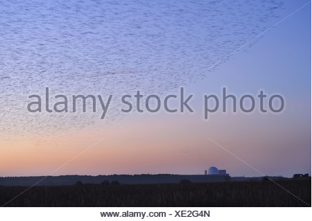 Common Starling (Sturnus vulgaris) flock, in roosting flight, over coastal reedbed habitat at dusk, with Sizewell Nuclear Power - Stock Photo