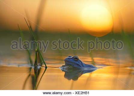Moor frog (Rana arvalis), blue coloured male during mating season, in spawning waters, sunset, Elbe, Saxony-Anhalt, Germany - Stock Photo