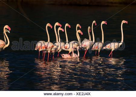 Greater flamingos in Lake Bogoria waters. Kenya - Stock Photo