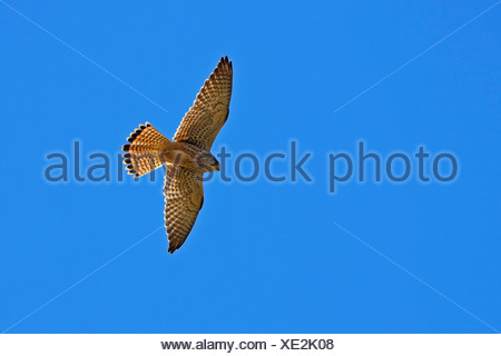 common kestrel (Falco tinnunculus), flying, Germany, Rhineland-Palatinate - Stock Photo