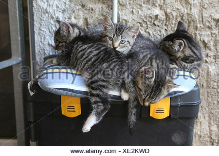 domestic cat, felis silvestris catus - Stock Photo