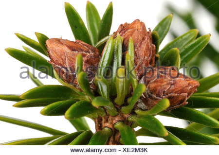 Nordman fir (Abies nordmanniana), branch with buds - Stock Photo