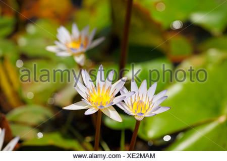 Costa Rica, View of blue water lily - Stock Photo