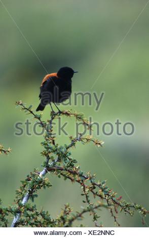 rufous-backed negrito (Lessonia rufa), sitting on a bush, Chile - Stock Photo