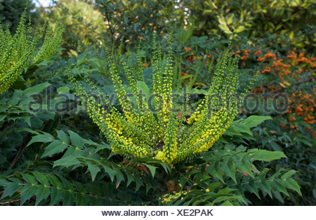 Mahonia is an upright, bushy, vigorous evergreen shrub which flowers from late autumn to early spring. During the rest of the - Stock Photo