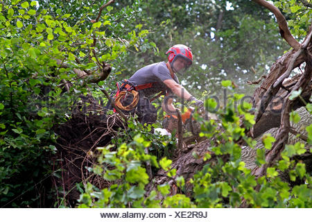 timber worker cutting down a tree, Germany - Stock Photo