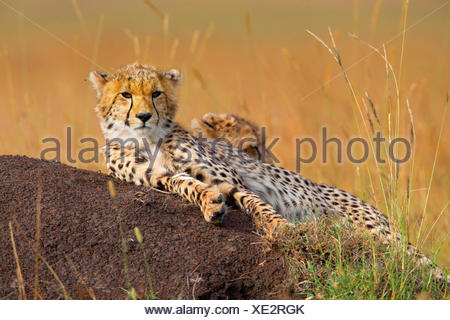cheetah (Acinonyx jubatus), two resting cheetahs, Kenya, Masai Mara National Park - Stock Photo