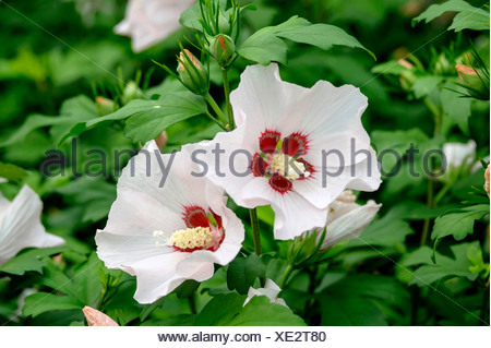 shrubby althaea, rose-of-Sharon (Hibiscus syriacus 'Mathilde', Hibiscus syriacus Mathilde), cultivar Mathilde - Stock Photo