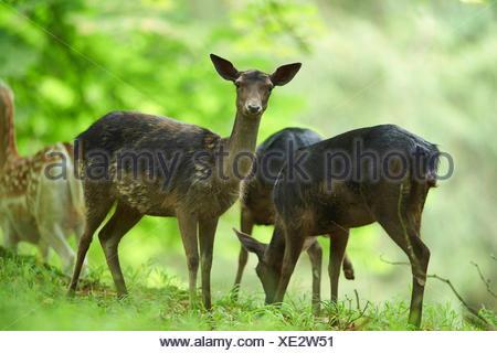 fallow deer (Dama dama, Cervus dama), black fallow deer at a clearing, Germany, Bavaria - Stock Photo