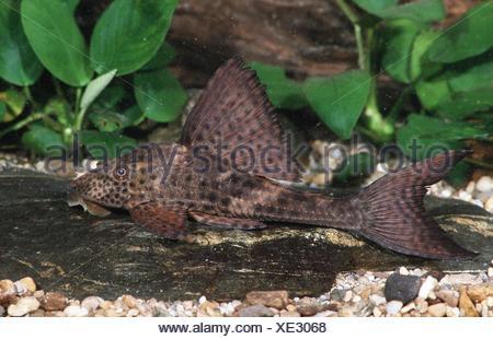 (Cochliodon spec.). - Stock Photo
