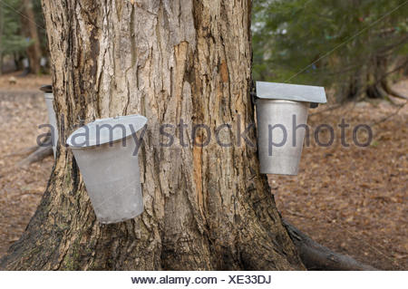 Metal buckets attached to a tap in a sugar maple, collecting maple sap to make maple syrup, Ontario, Canada - Stock Photo