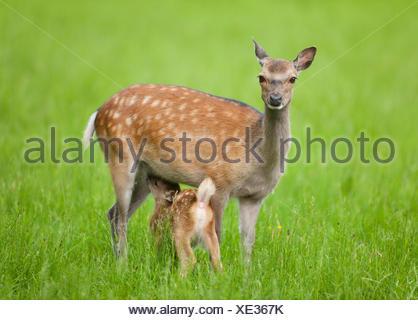 Sika Deer (Cervus nippon), hind suckling young, captive, Bavaria, Germany - Stock Photo