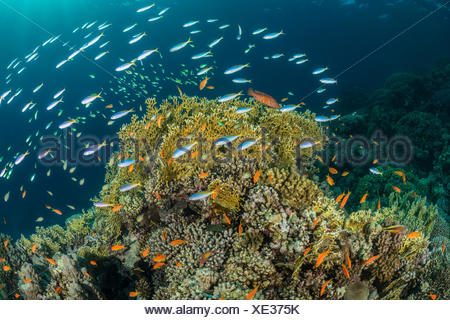 Yellowback Fusilier over Coral Reef, Caesio teres, Marsa Alam, Red Sea, Egypt - Stock Photo