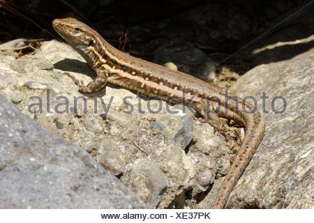 La Palma lizard, Sizeable lizard, Wall lizard, Lagarto Tizón, Gallotia galloti palmae, Male lizard, Lacertidae, Caldera de Taburiente National Park, - Stock Photo