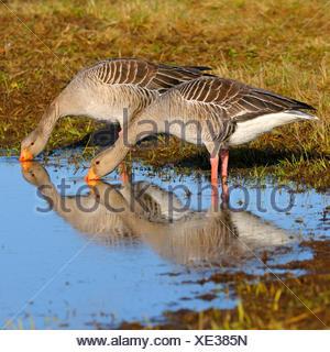 greylag goose (Anser anser), couple on the feed, Sweden - Stock Photo