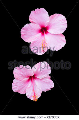 Pink hibiscus isolated on black - Stock Photo
