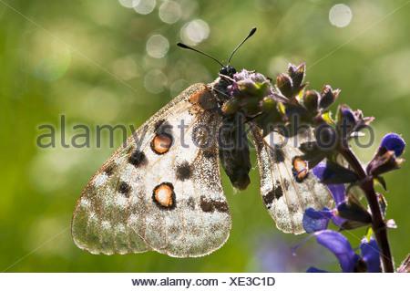 Apollo Parnassius apollo, resting on sage, National Park Ecrins, Alps, France - Stock Photo
