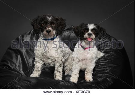 A Bichon-Shih Tzu And A Havanese Dog On A Black Beanbag - Stock Photo