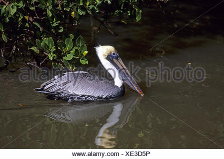 Brown Pelican in winter plumage - Stock Photo