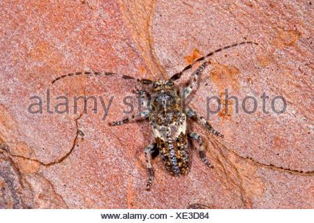 Conifer-wood longhorn beetle, Pine Longhorn (Pogonocherus fasciculatus), on bark, Germany - Stock Photo