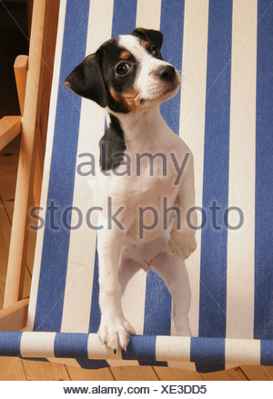 Danish Swedish Farmdog  whelp - Stock Photo