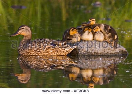 Alaska. Mallard hen (Anas platyrhynchos) and ducklings resting on a rock in Cheney lake, Anchorage. - Stock Photo
