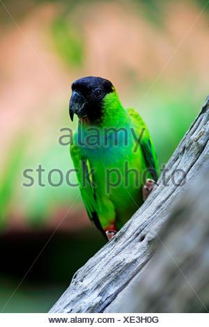 Nanday Parakeet (Nandayus nenday), adult in a tree, Pantanal, Mato Grosso, Brazil - Stock Photo