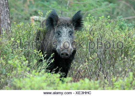 Wild boar between billberries in a forest, in a natural surrounding - Stock Photo