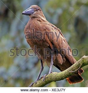 hammerhead or shadow bird scopus umbretta - Stock Photo