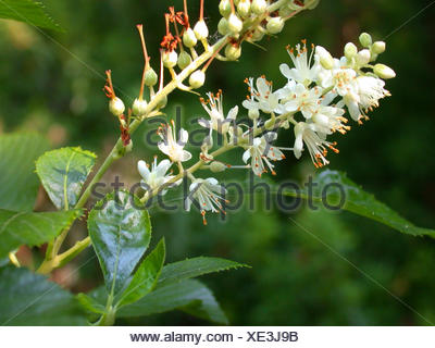Sweet Pepper Bush, Anne Bidwell, Summersweet (Clethra alnifolia), inflorescence - Stock Photo