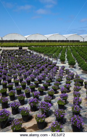 Potted ornamentals, bedding plants and shrubs at a horticultural nursery and greenhouse / Salinas, California, USA. - Stock Photo
