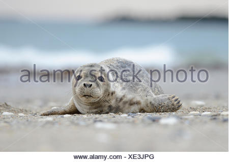 Young Grey Seal (Halichoerus grypus), pup, lying on the beach, Helgoland, Helgoland, Schleswig-Holstein, Germany - Stock Photo