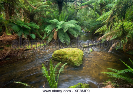 creek in temperate rainforest dominated by ferns and lichen and moss-covered trees, Australia, Tasmania, Mount Field National Park - Stock Photo