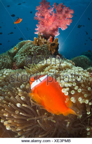 Pink anemonefishes in sea anemones - Fiji Islands - Stock Photo