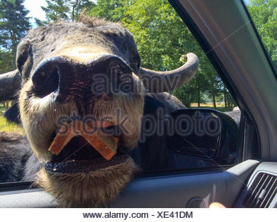 American Bison putting his head inside car - Stock Photo