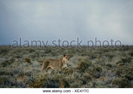An alert lioness, Panthera leo, walking in the dry bushes. - Stock Photo