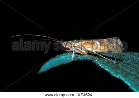 Cloth Moth Tineola bisselliella On end of leaf - Stock Photo