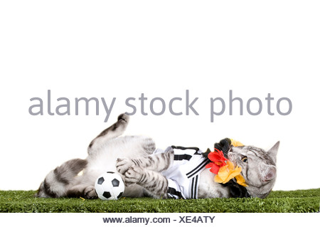 f794bdf15 ... Domestic Cat. Tabby adult dressed in the jersey of the German National  Football Team with