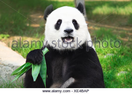 animal bear black - Stock Photo