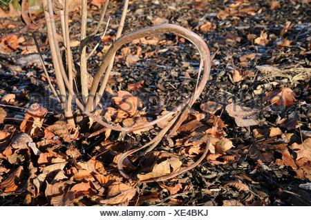 Cotinus coggygria, Smoke bush, Fasciation - Stock Photo