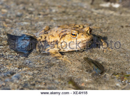 Common toad (Bufo bufo) in water, mating season, Stallauer Weiher, Upper Bavaria, Bavaria, Germany - Stock Photo
