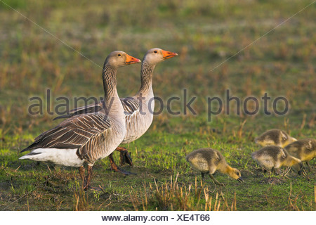 greylag goose (Anser anser), couple with chicks, Netherlands, Texel - Stock Photo