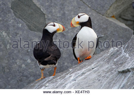 A couple of horned puffins look at each other. - Stock Photo