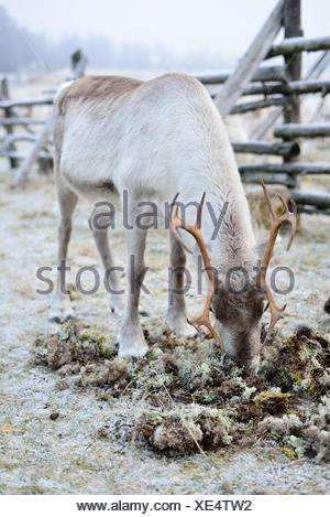 Reindeer eating moss in Finnish Lapland. - Stock Photo